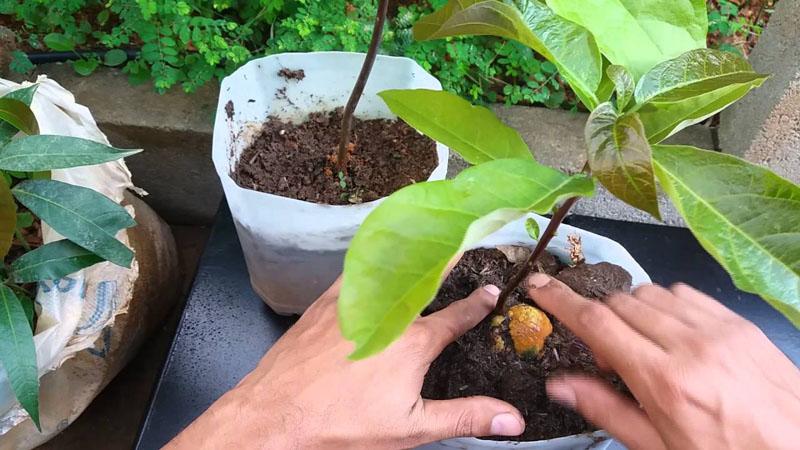 Como plantar abacate?